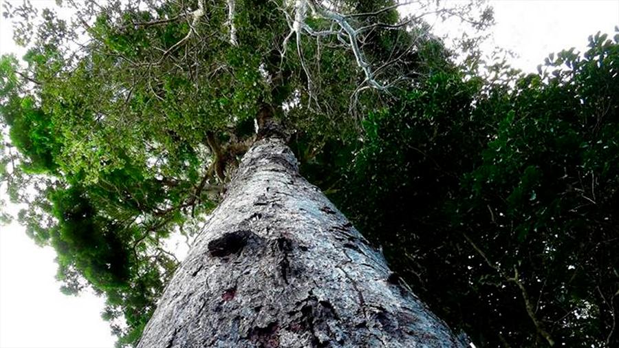 Científicos descubren el árbol más viejo en Europa con más de 1,200 años