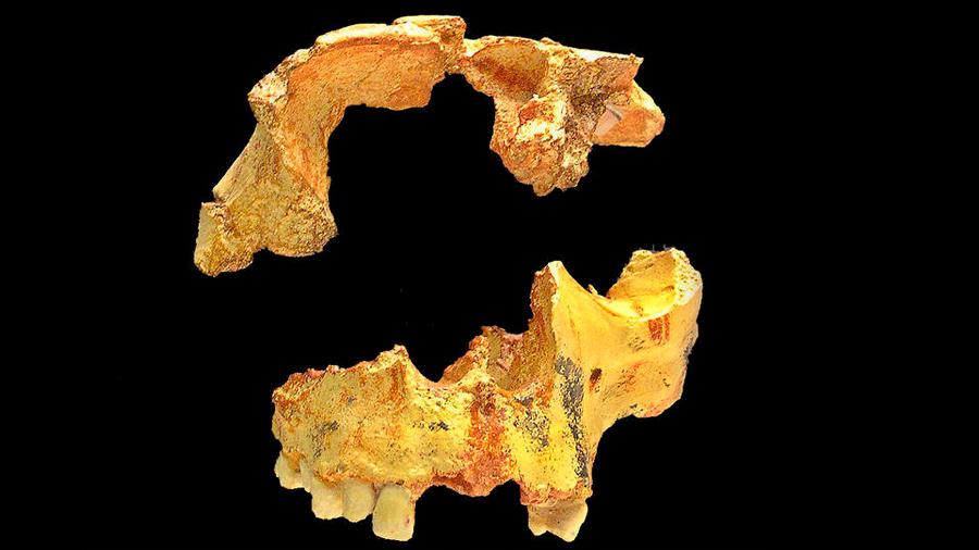 Una datación directa confirma la extrema antigüedad de Homo Antecessor