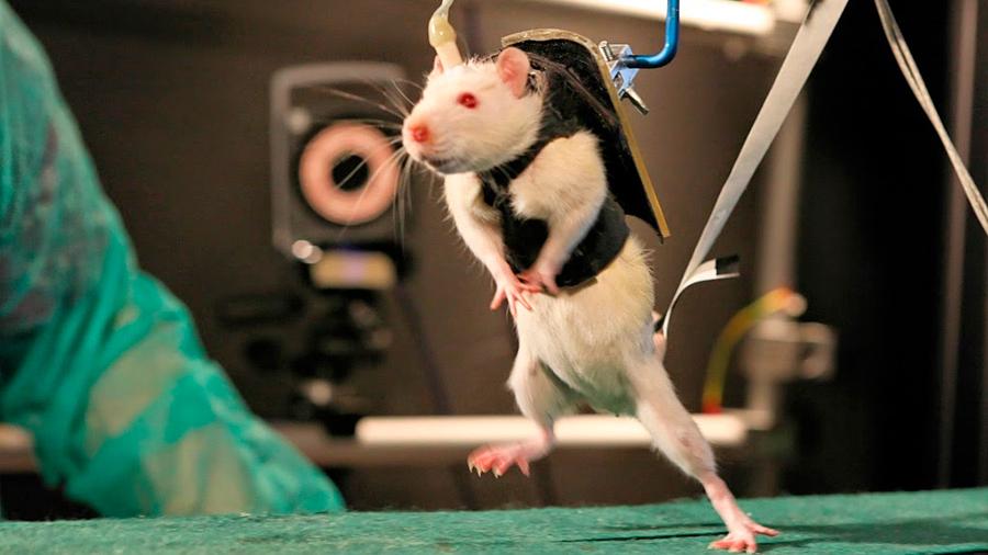 El encéfalo ordena andar y ratas parapléjicas obedecen