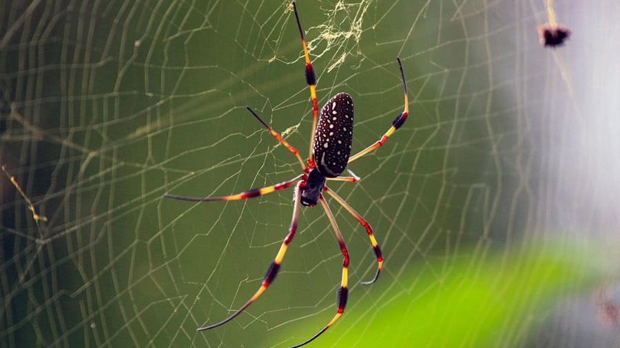 Se descubre un mecanismo clave para la resistencia de la seda de araña