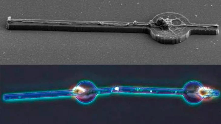Buscan construcción artificial de un cerebro conectando neuronas vivas