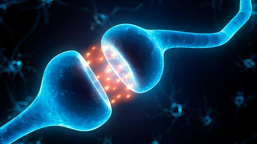 Descubren un proceso fundamental mediante el que se construyen cerebros