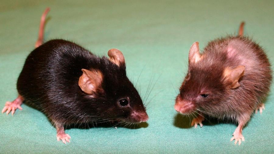 Joven científico español logra alargar 10 por ciento longevidad en ratones