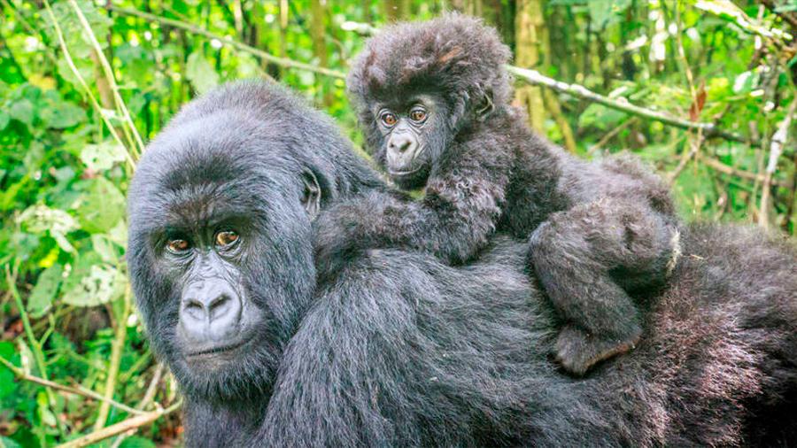 La población de gorilas de montaña vuelve a superar el millar de ejemplares