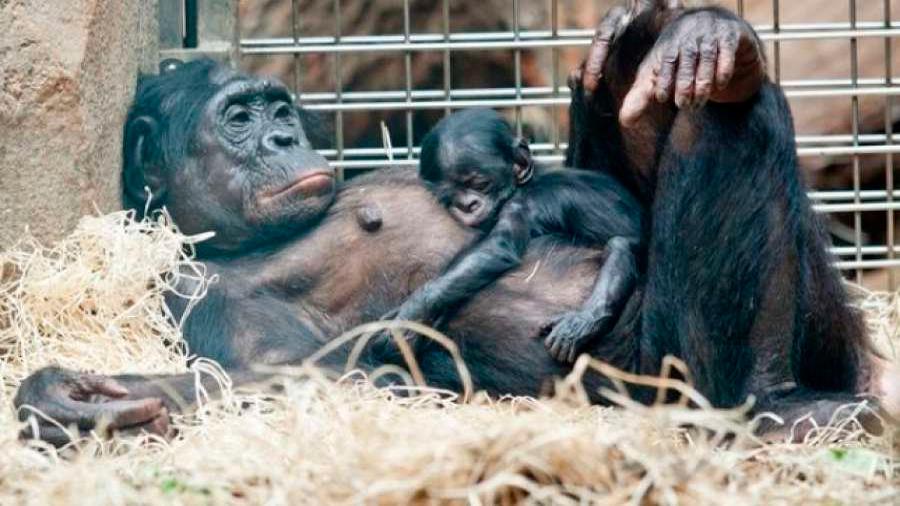 Las chimpancés bonobos hacen de 'comadronas' durante el parto de sus compañeras