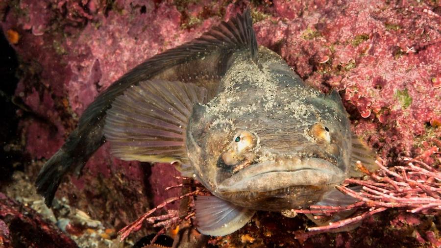 Supermúsculo le permite a pez emitir 'canto de amor' durante una hora