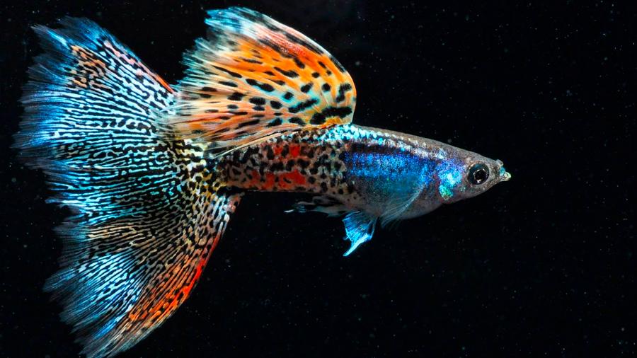 A estos peces les crece el cerebro cuando hay un depredador