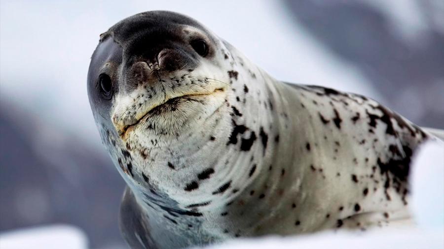 La vida secreta de la foca leopardo, el depredador 'cúspide' antártico