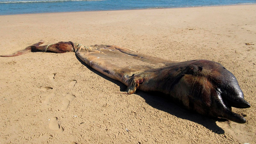 ¿Qué era el misterioso animal varado en una playa de África? Científicos lo descubren