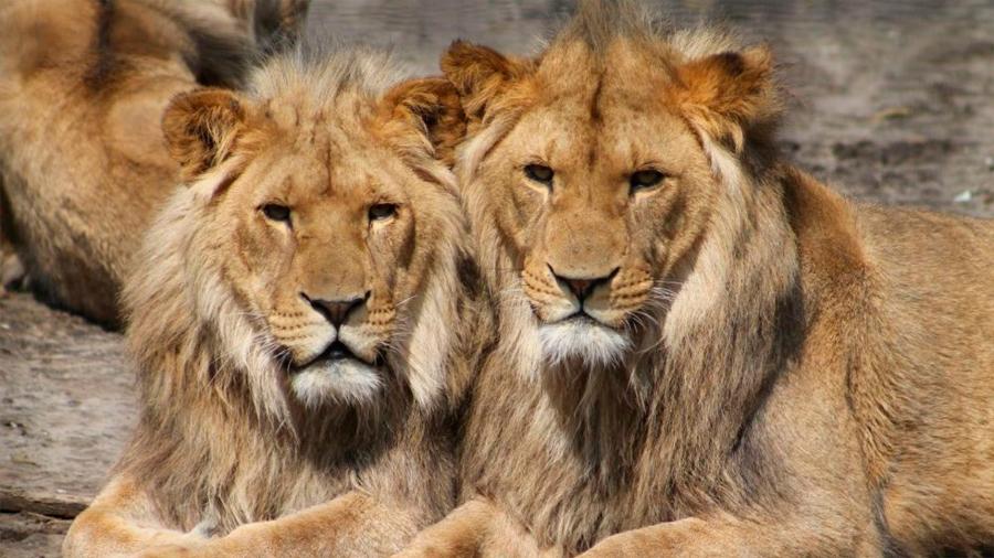 Nueve leones mueren envenenados en el famoso parque de Serengeti en Tanzania