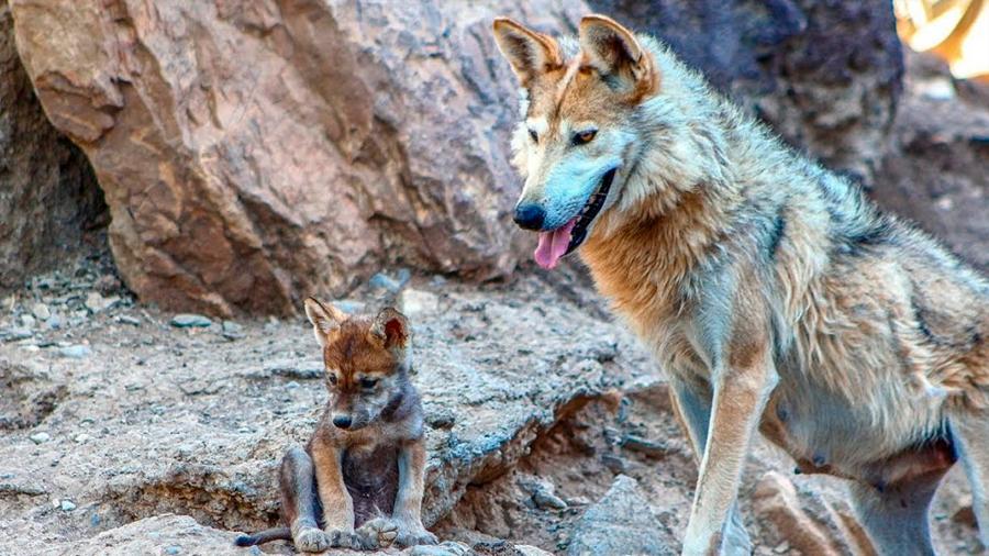 Avanza satisfactoriamente la rehabilitación del lobo mexicano