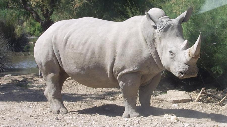 Cómo puede volver a la vida el extinto rinoceronte blanco
