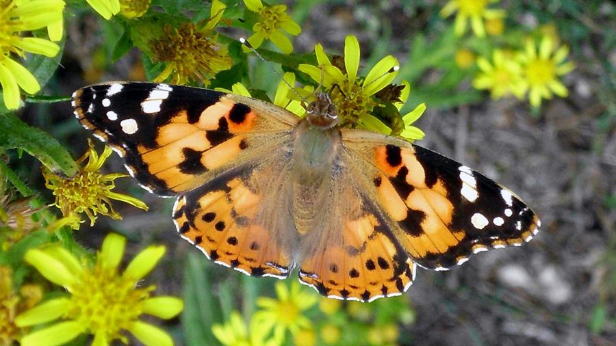 Descubren que un tipo de mariposa hace misma ruta que las aves migratorias: 12 mil kms
