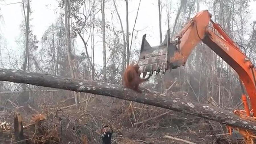Orangutan se enfrenta a excavadora de madereros que destruyeron su hogar