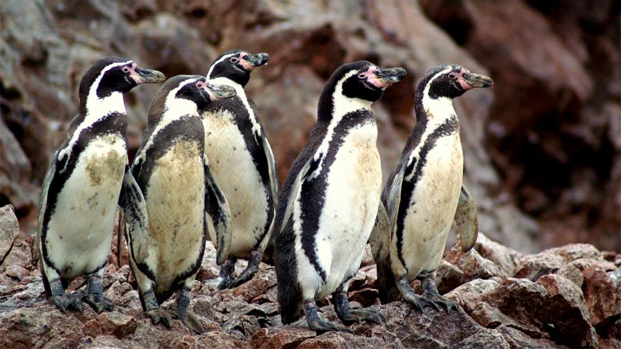 Los pingüinos han tumbado dos ministros en Chile, tras proyecto minero