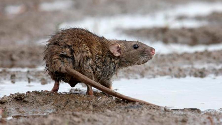 Islas Georgias del Sur se tornan en primera zona del orbe en la que han desaparecido totalmente las ratas