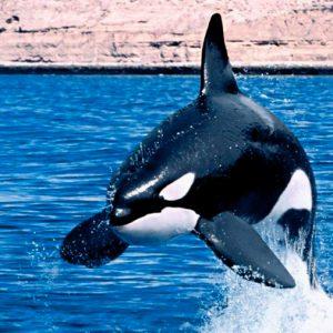Ballenas y delfines reconocen los gritos asesinos de las orcas