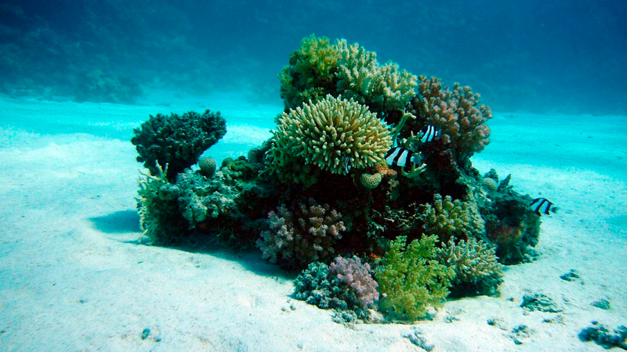 Encontrar los 'oasis' de coral encierra la clave para su supervivencia