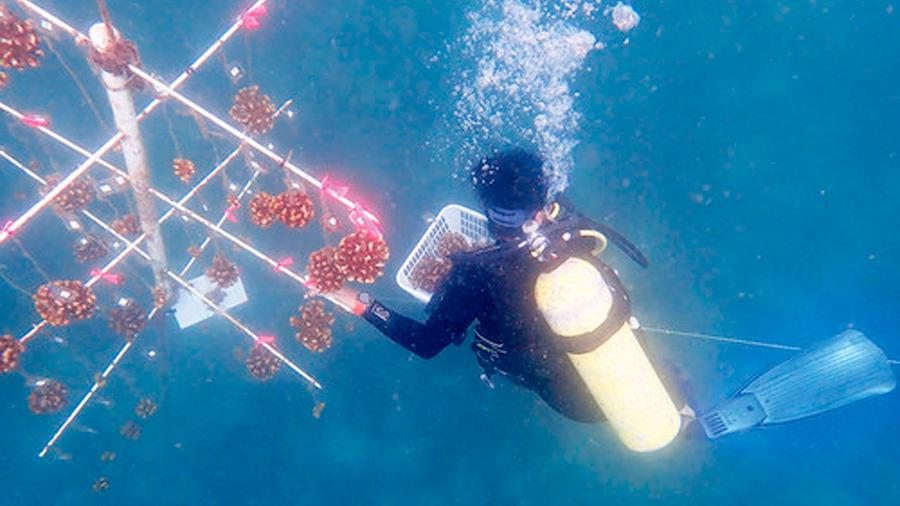 Con una nueva técnica los corales se pueden restaurar