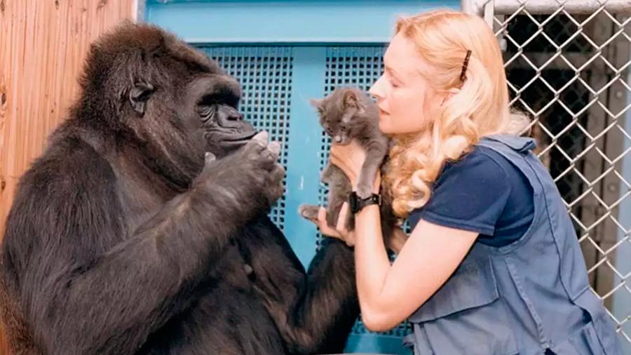 Adiós al fallecido Koko, el gorila de 46 años que se comunicaba a través de lenguaje de señas