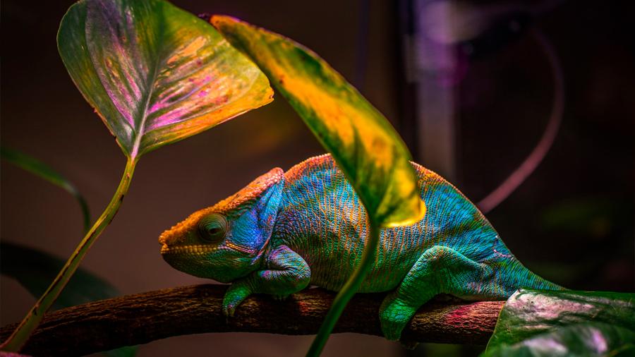 El camaleón inspira un nuevo nanoláser que cambia de color