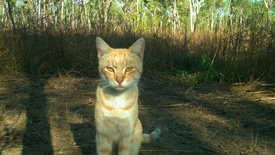 Australia: gatos errantes matan un millón de reptiles al día