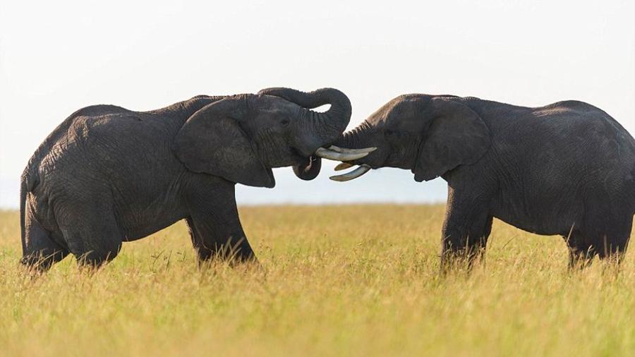 De ranas a elefantes: los animales que se turnan para hablar como si fueran humanos