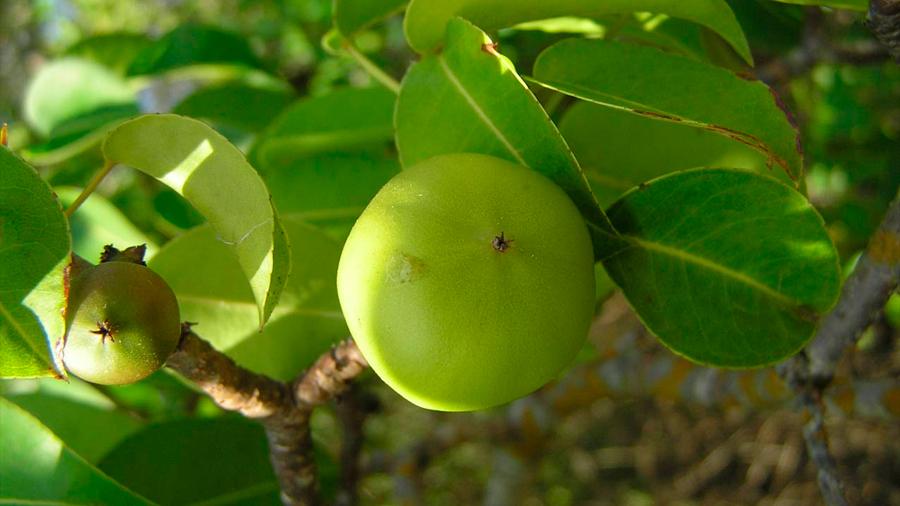 El 'árbol de la muerte' es tan tóxico que el sólo contacto con sus hojas y frutos podría envenenarte