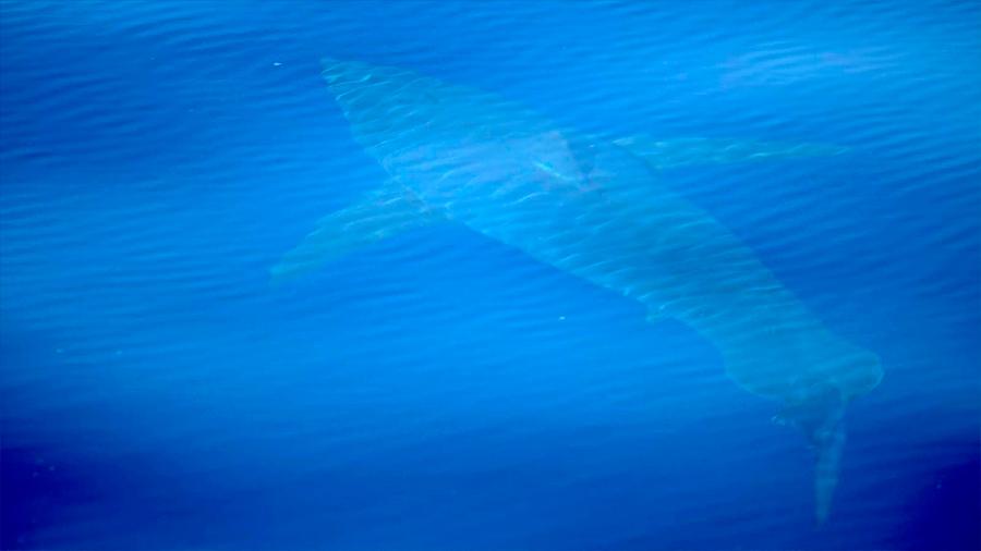 Científicos logran visualizar magnífico tiburón blanco que no se veía desde hace más de 40 años