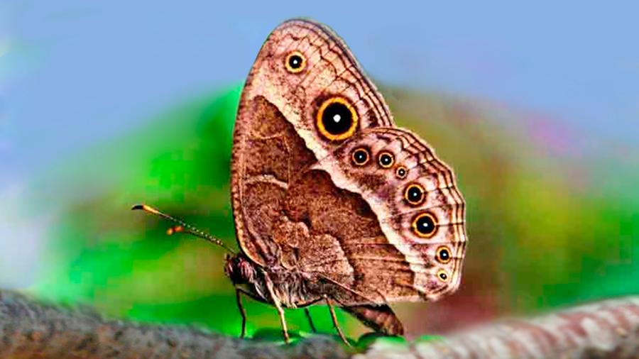 Genes de pigmentos en alas de mariposa crean colores y patrones que le ayudan a camuflarse o atraer parejas