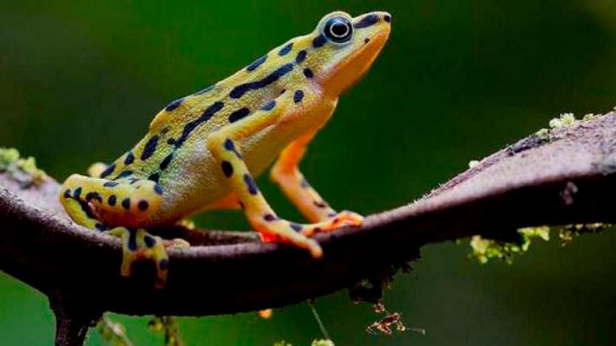 Redescubren anfibios que se creían extintos