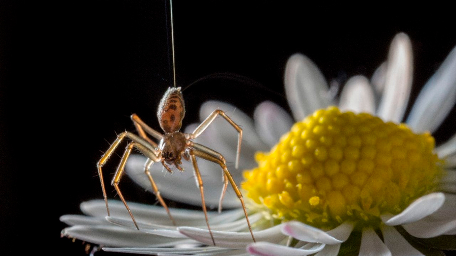 ¡Sorpresa! Las arañas vuelan envueltas en electricidad
