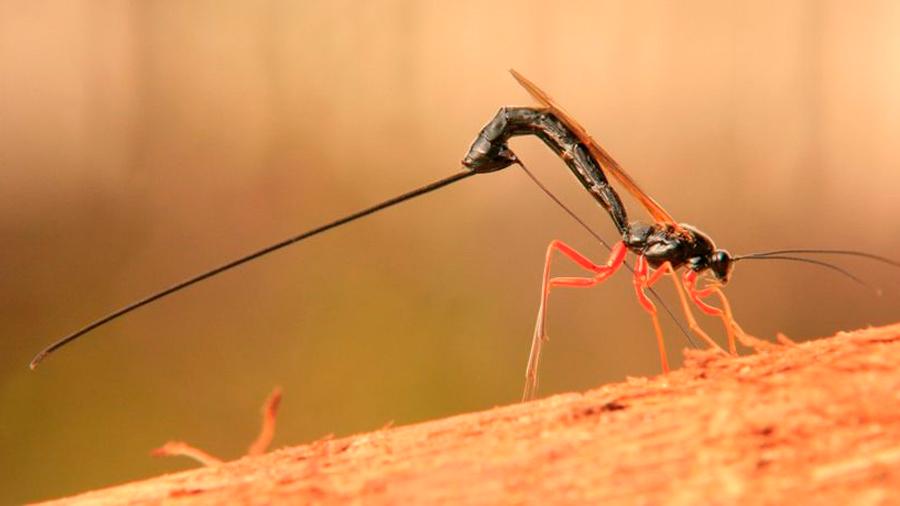 Una avispa con un aguijón descomunal, descubierta en el Amazonas