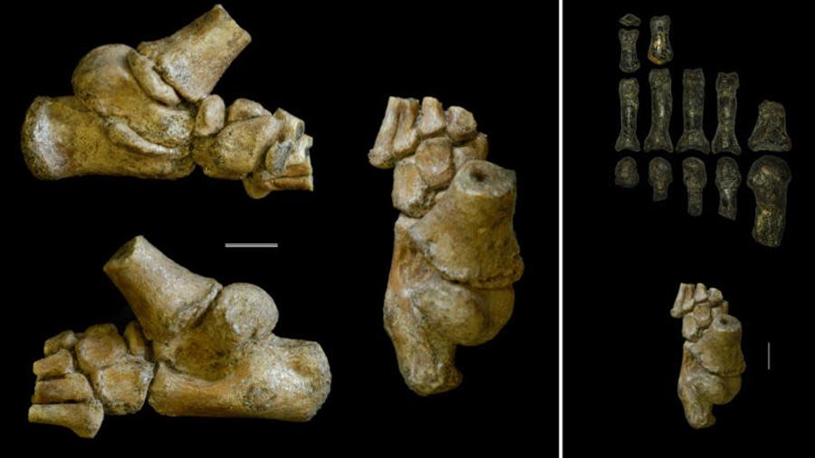 La niña con pies de chimpancé: antepasada que caminó erguida y trepó árboles con facilidad