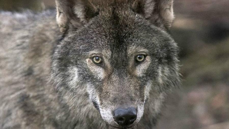 Por primera vez detectan a lobo saliendo por sí mismo de zona de Exclusión de Chernobyl