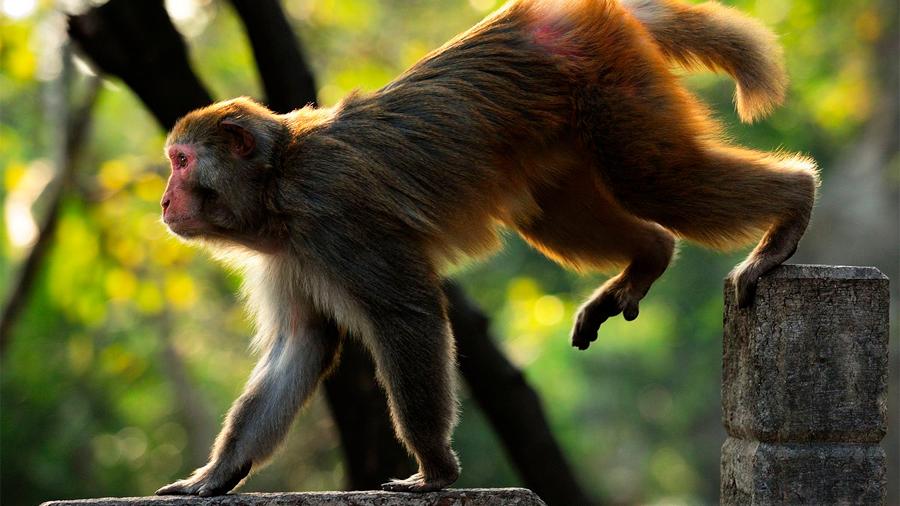 Logran reconectar circuitos nerviosos en macacos con daño en la columna y devolverles movilidad