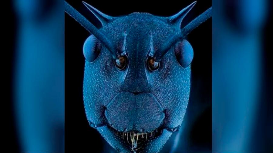 """Una extraña imagen muestra la cara microscópica de una hormiga """"cortadora de hojas"""""""