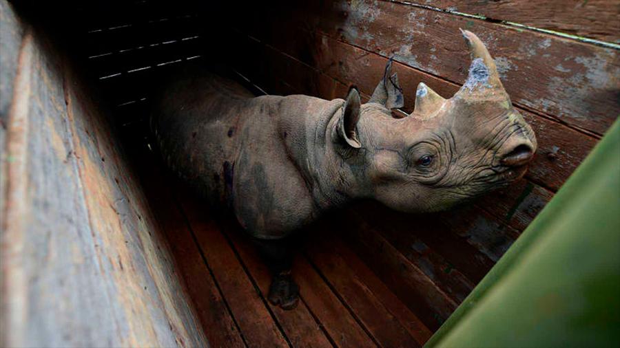 Mueren en Kenia siete rinocerontes en peligro de extinción por una posible negligencia en su traslado