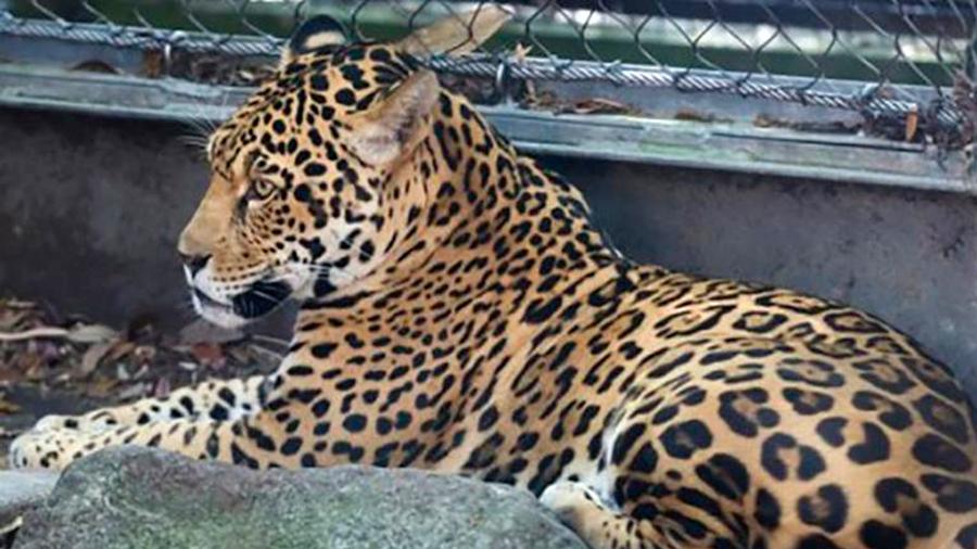 Un jaguar escapa de su jaula y mata a seis animales en zoológico de EU
