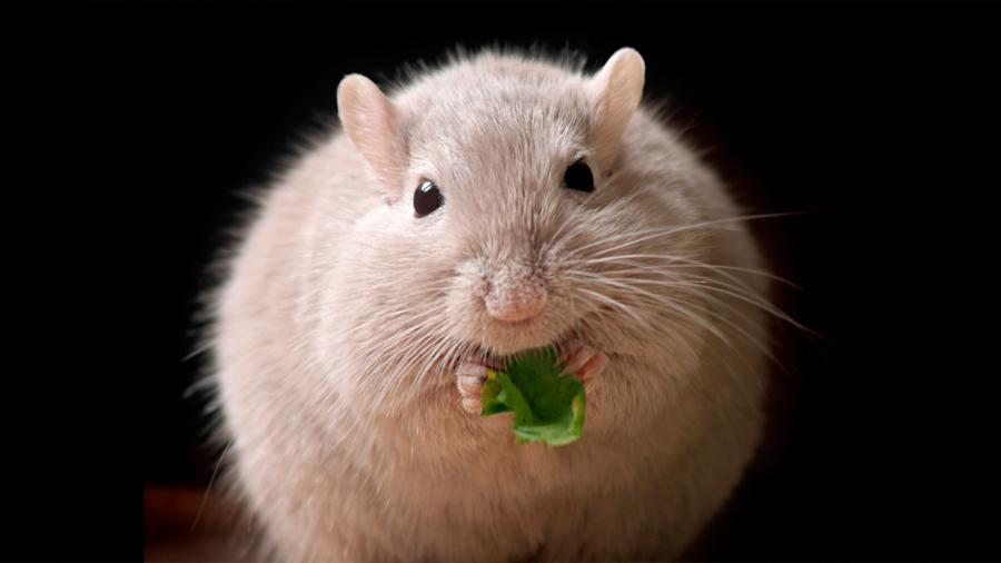 Describen el mecanismo que activa la grasa 'buena', clave para perder peso
