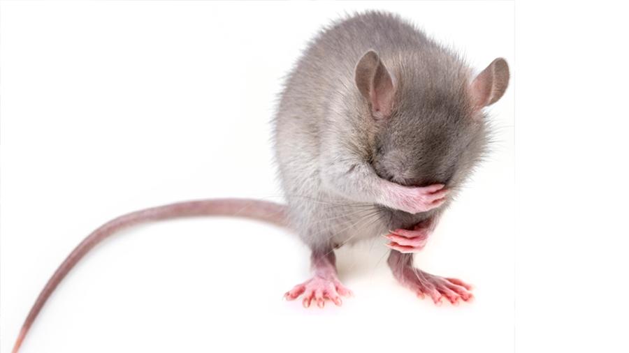 Nuevo estudio en ratones revela por qué el ayuno ayuda a adelgazar tanto