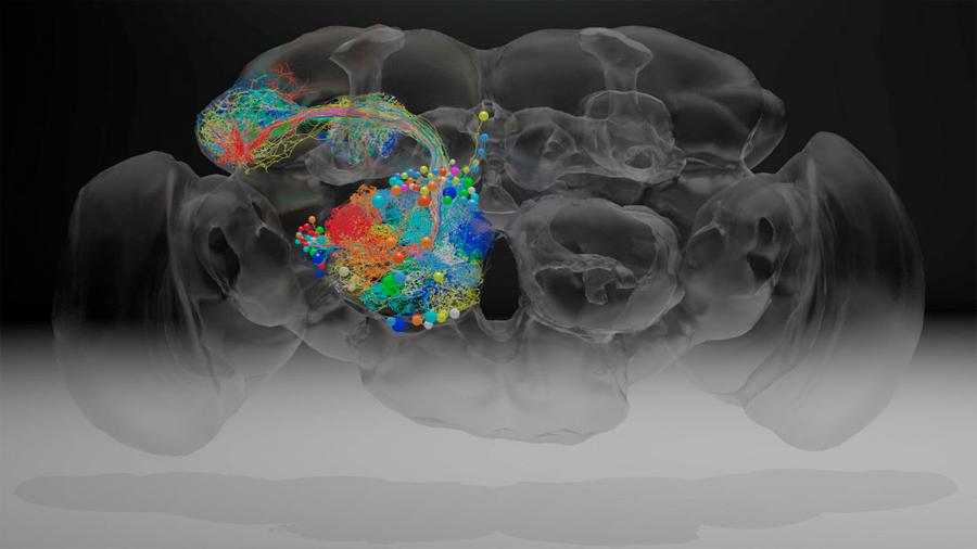 El cerebro de una mosca, en nanoescala con 21 millones de imágenes y 100 mil neuronas