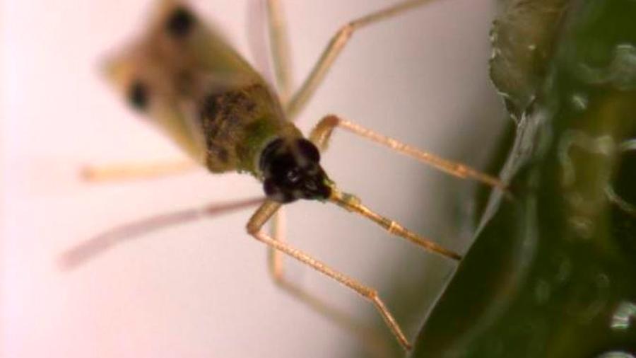 Insectos que se alimentan de un vegetal manipulan su metabolismo para aumentar contenido de nutrientes