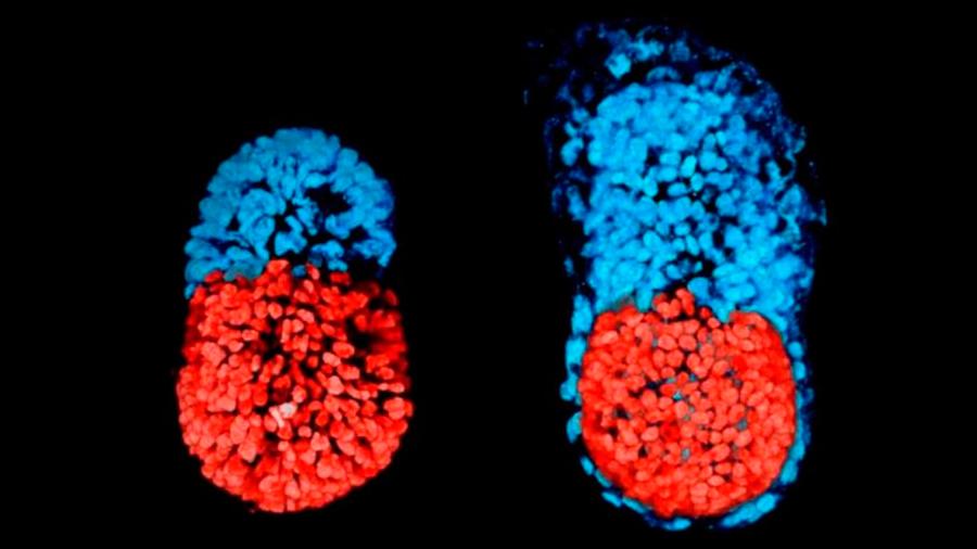 Un embrión artificial en Reino Unido logra avanzar a una inédita etapa de su desarrollo