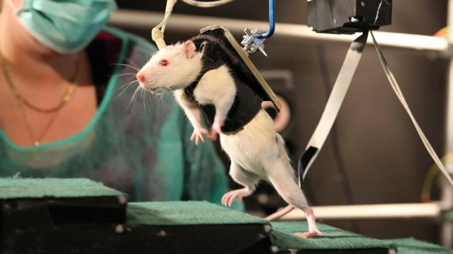 Un fármaco logra que ratones con paraplejia vuelvan a caminar