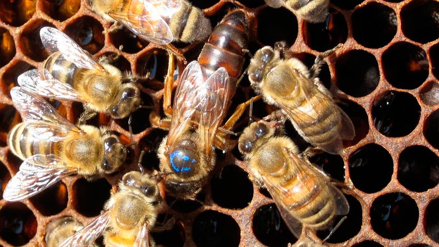 Descubren que abejas reinas tienen excepcional memoria y habilidad de aprendizaje