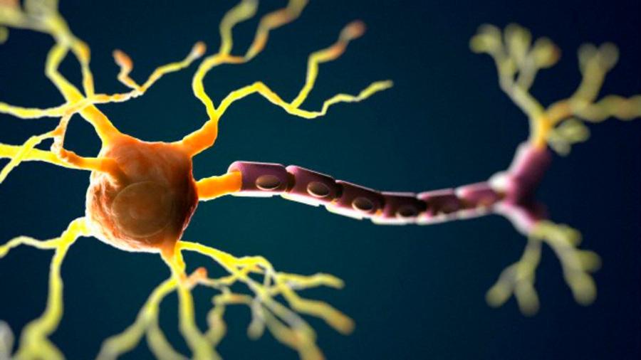 """Nuestra consciencia sería posible gracias a unas """"neuronas gigantes"""""""