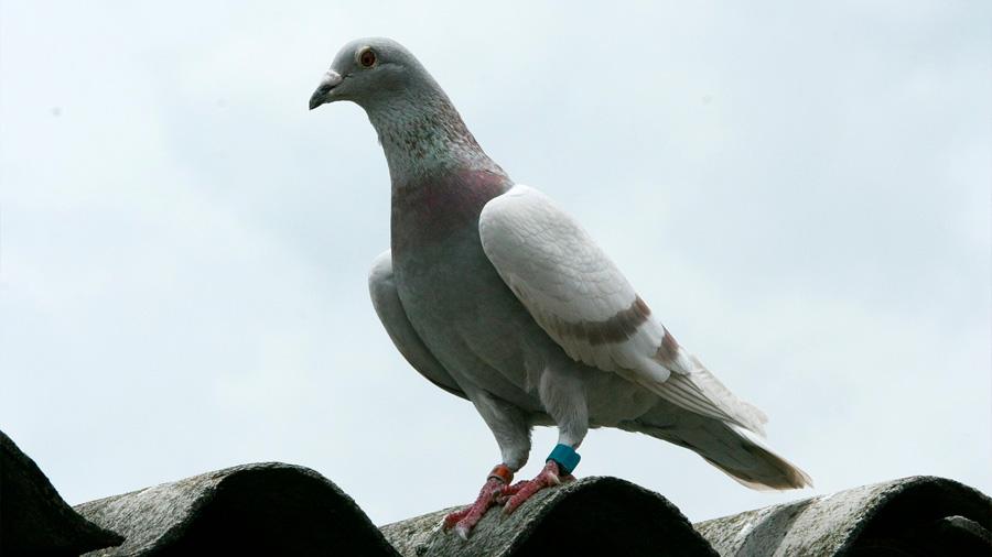 Las palomas mensajeras se guían por olores naturales familiares