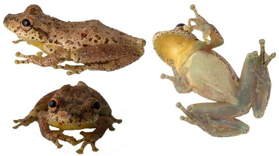 Descubren en Colombia una rana que croa como cabra