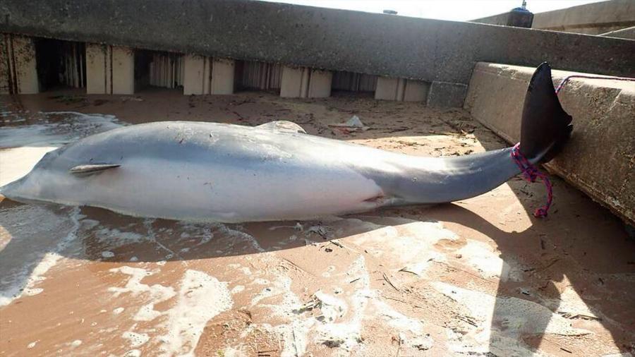 Ofrecen 11,500 dólares de recompensa en EU para hallar a quien mató a una delfín embarazada